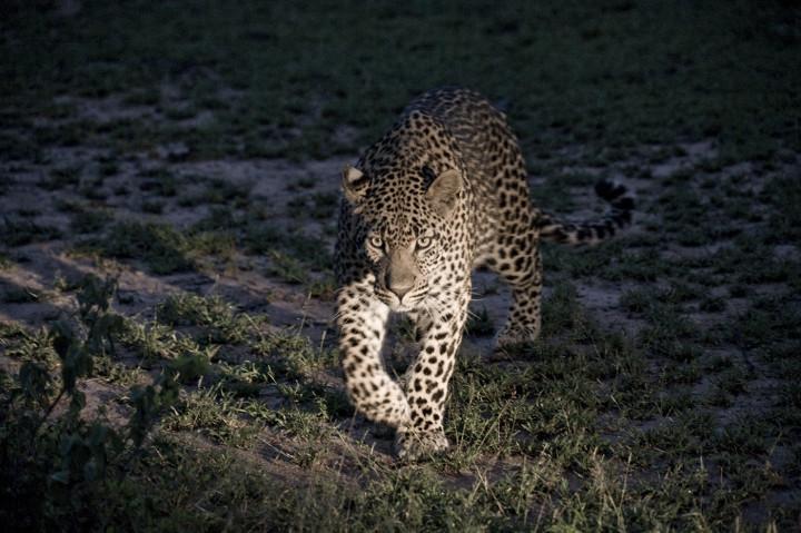 Justin Bonello_Leopard