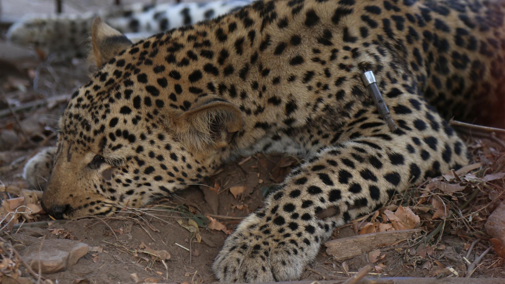 Leopard_111